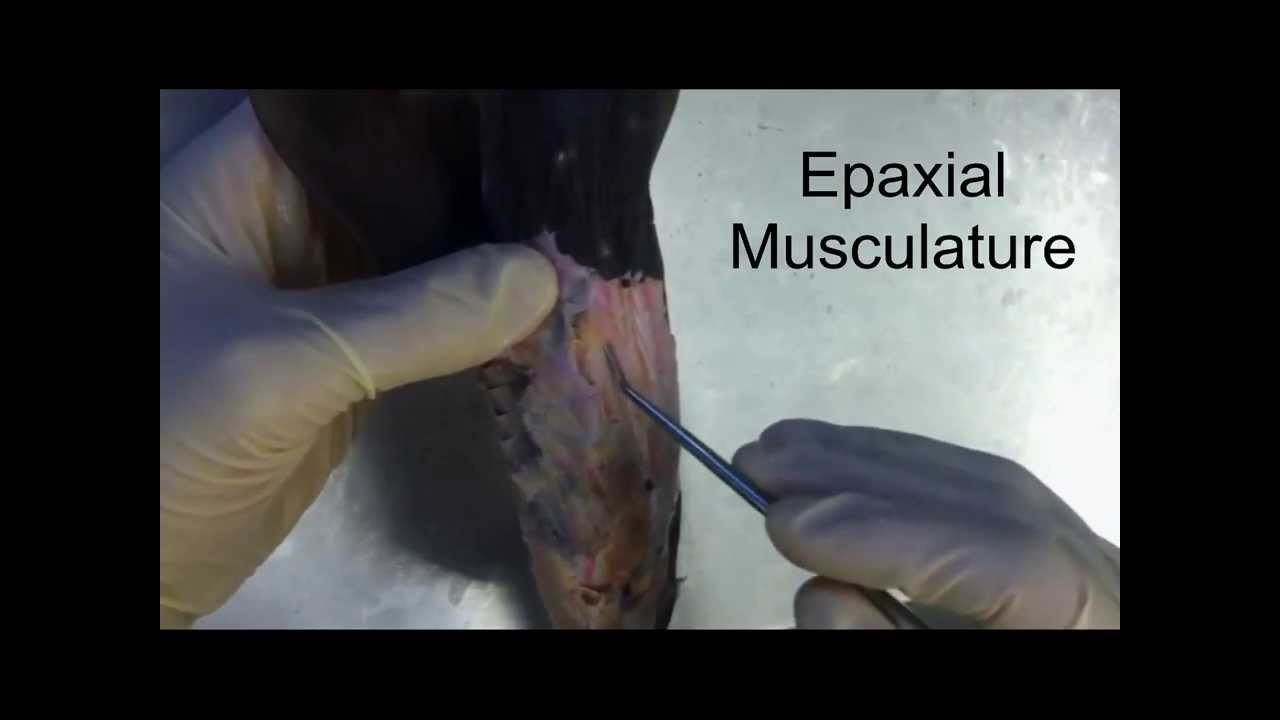 Muscle Anatomy of the Shark - YouTube