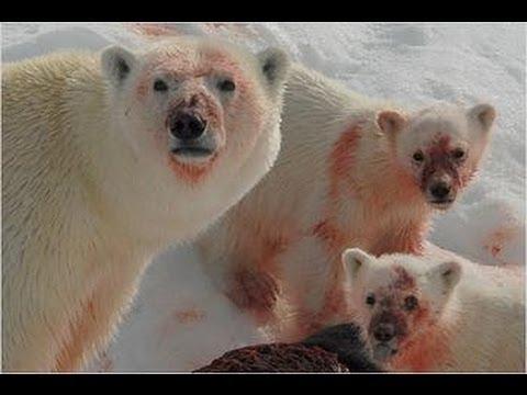 Ice Killers - Arctic Cold Predators (Nature Wildlife Documentary)