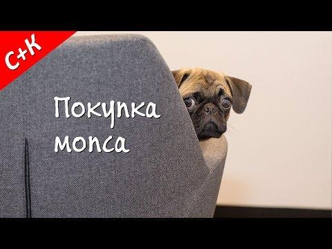 Покупка щенка мопса.