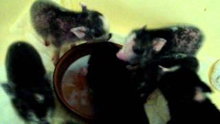 New litter of Micro Nano Teacup piglets eating, making a mess and playing in the bath tub