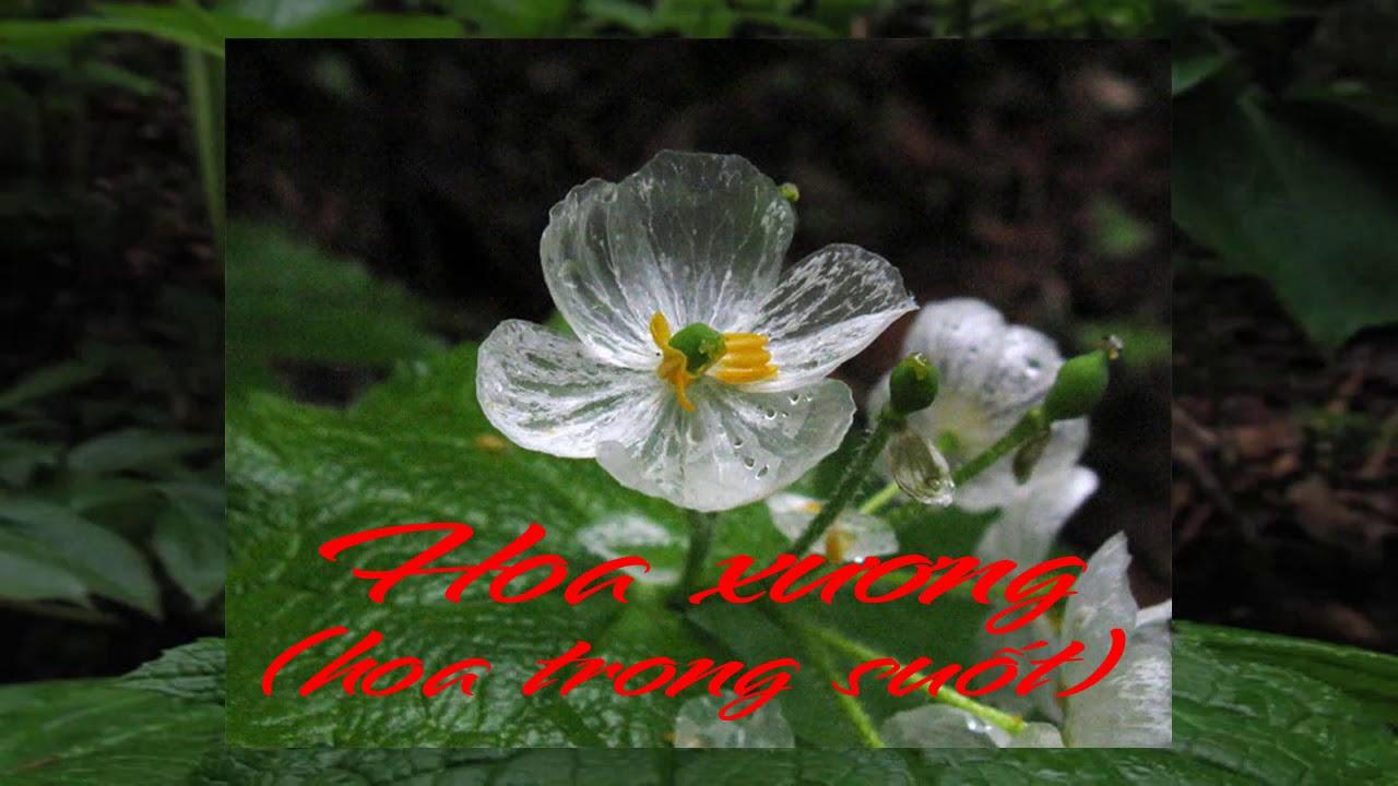 Hoa xương hoa trong suốt