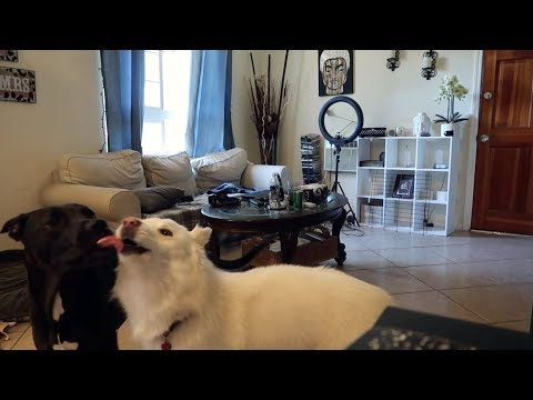 Pitbull and Husky left Home Alone - what could go wrong ?