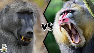 BABOON VS MANDRILL - Which is the strongest monkey?