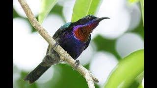 Gambar cover burung kolibri - Suara Burung Kolibri Ninja Gacor Ocehan Si Master Kicau
