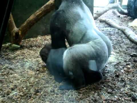 Женщина занимается сексом с гориллой фото 221-396