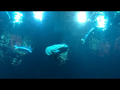 Saying Hello To Our New Ocean Sunfish, Or Mola Mola! | Live From Monterey Bay!