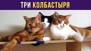 Приколы с котами. Три колбастыря | Мемозг #74