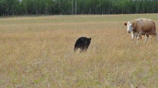 прикольные картинки Коровы забили медведя