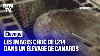 Les nouvelles images répugnantes de L214 dans un élevage de canards des Pyrénées-Atlantiques