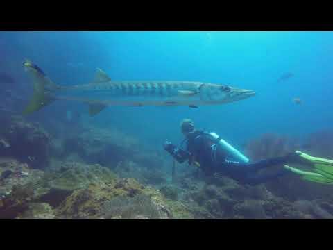 The Barracuda Is A Saltwater Fish Of The Genus Sphyraena