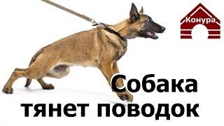 Собака тянет поводок, или как с этим бороться...