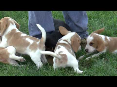 Beagle Puppies for Sale from dyerfarms.com