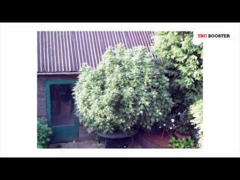 Best outdoor marijuana fertilizer