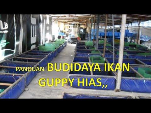 Teknik Budidaya Ikan Guppy Hias Bagi Pemula, Agar Cepat ...