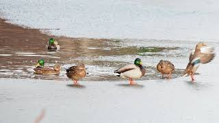 Mallard ducks on frozen lake. Ducks walking on ice