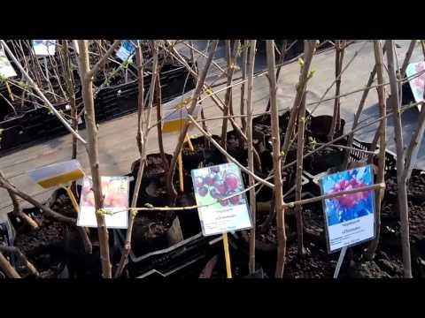 Иду в питомник Тимирязевский саженцы плодовые часть 1