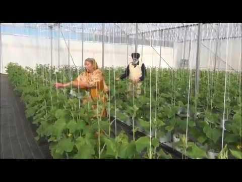 Tomato farming at Sidhu Farms