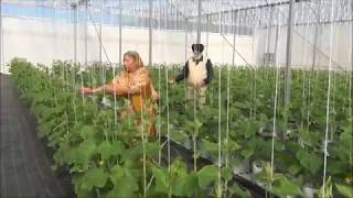 Tomato farming at Sidhu Farms