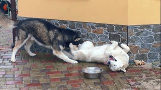 😍САМЫЙ СМЕШНОЙ ЖЕНИХ СИБИРСКОЙ ХАСКИ. Cool fun Siberian Huskies.