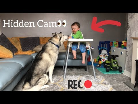 Baby & Husky Work Together To Sneak Food Behind Dad's Back!! [HUSKY OBEDIENCE TEST] [EPIC FAIL]