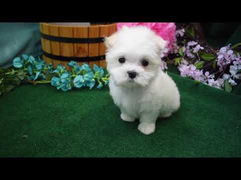 Maltese Puppy # ML 564