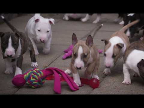 Mini Bull Terriers WeShootit puppies From Friar's Point 2018