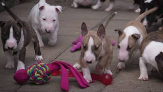 Mini Bull Terriers WeShootit puppies From Friar's Point 2018 Resimi