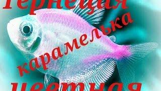 Аквариумные рыбки. Тернеция Цветная. Карамелька.(, 2016-03-20T12:05:23.000Z)