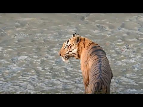 BEST VIDEO OF THE ROYAL BENGAL TIGER AT SUNDARBAN ,शेर ,বাঘ।