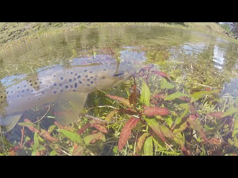 Sight Fishing The Goulburn River For Trout