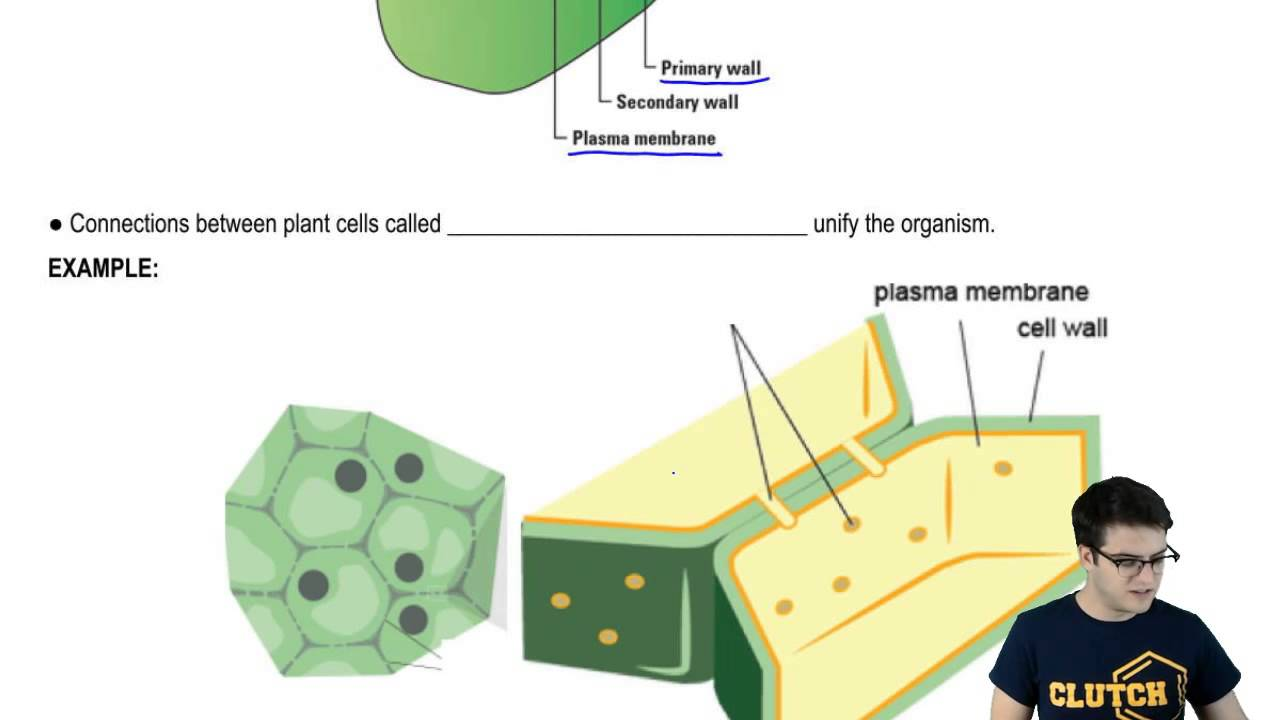 Cell junctions plant cell walls and plasmodesmata youtube cell junctions plant cell walls and plasmodesmata ccuart Choice Image