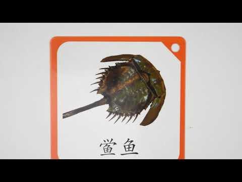 (中文早教卡/海洋动物系列#1) Picture Card learn Chinese for Kids [Category: Marine life]