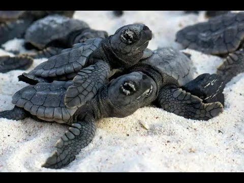 Вопрос: Как называется детеныш черепахи?