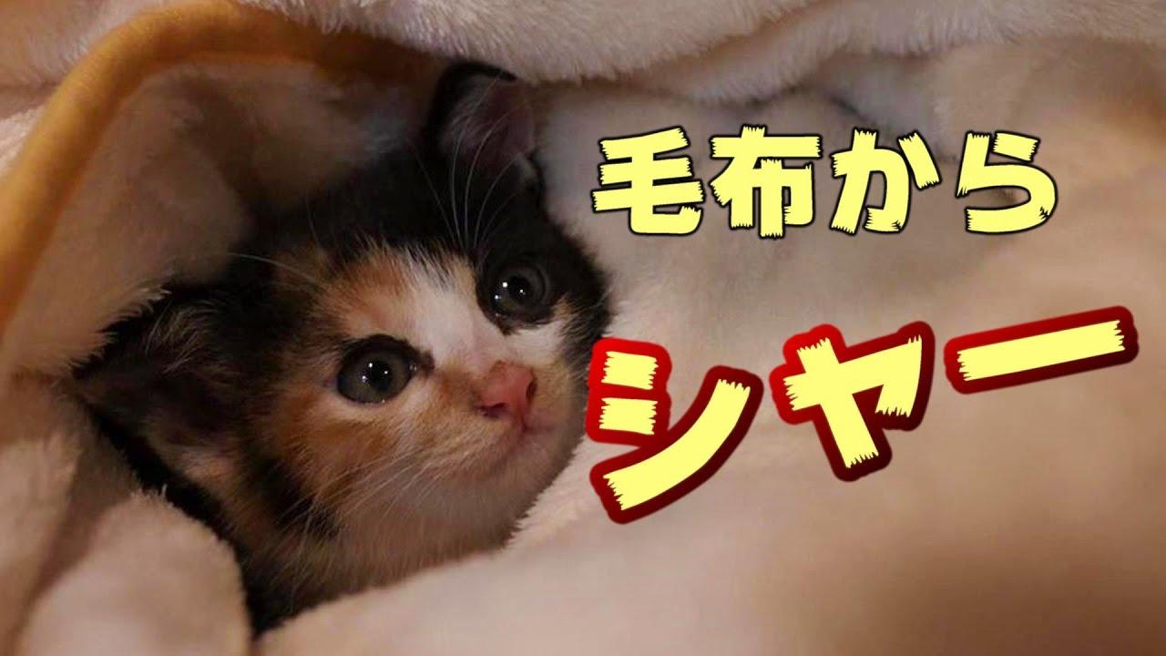 シャーシャー子猫のグレムリンを毛布でくるんだらおとなしくなるはず