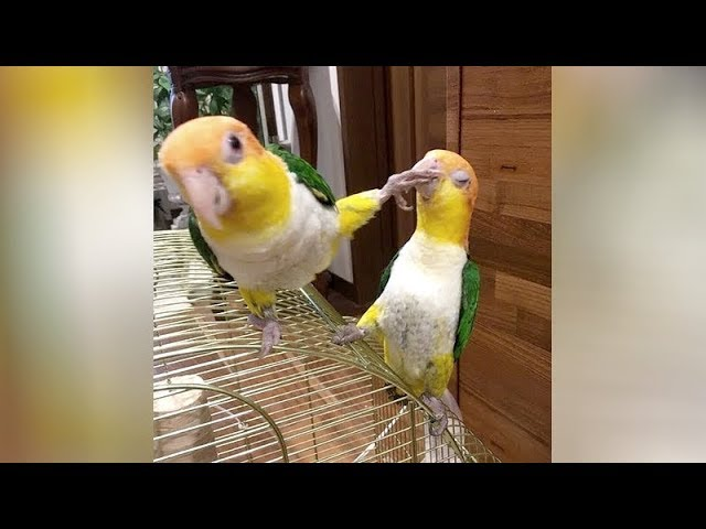 Wanna LAUGH? BIRDS will NOT DISAPPOINT YOU! - Funniest BIRD VIDEOS