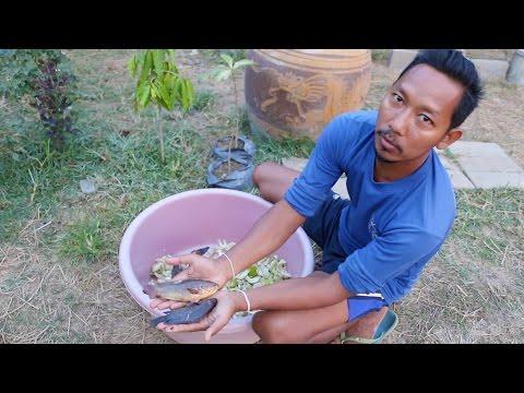 สุดยอด⁉️ วิธีเลี้ยงปลาด้วยต้นกล้วย โครตง่าย