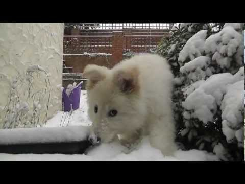 The Snow Experience - White German Shepherd Luna