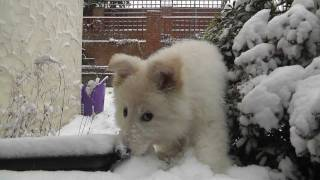 The Snow Experience - White German Shepherd Luna