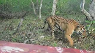 Tiger spotted @ Bandipur National Park part 1