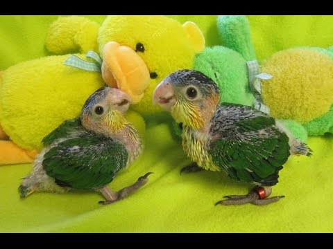 7 week old White Bellied Caique Babies