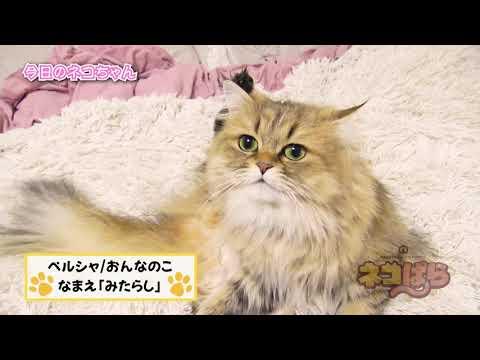 ネコぱら 今日のネコちゃん #11 みたらしちゃん