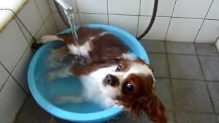 風呂好きな我が家のキャバリア・キングチャールズ・スパニエル(Cavalie...