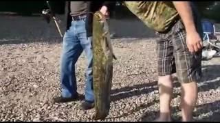 Рыбалка на Рейне (Германия ).Сом 1 метр.Мат (18+)