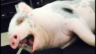how to avoid mini pig scam