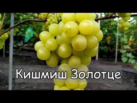 Виноград Кишмиш Золотце. С мускатно - цитрусовыми тонами. Очень урожайная форма.