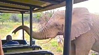Wild Elephant Checks-Out & Smells People Inside an Open Vehicle - Latest Wildlife Sightings