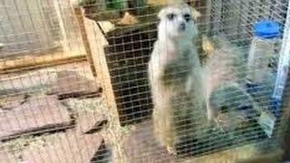 Сурикаты zoo animals.The meerkats animals.В Екатеринбурге сурикаты зоопарк 2015.