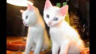 Топ:Самые необычные кошки мира!! Красивые кошки планеты!!