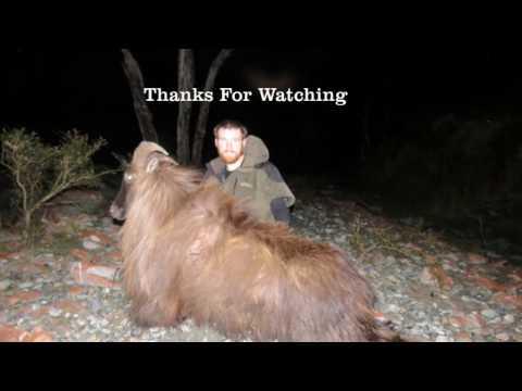 Hunting Big Bull Tahr West Coast NZ