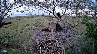 Митюня  - первая неделя в гнезде